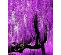 Саженец глициния фиолетовая