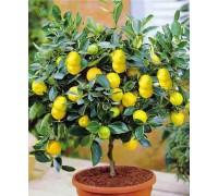 Саженець  Лимона