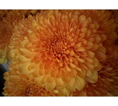 Цветы Хризантема шаровидная