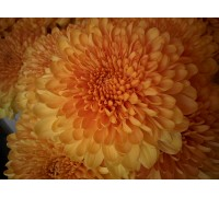 Хризантема шаровидная оптом (белая, сиреневая, желтая)