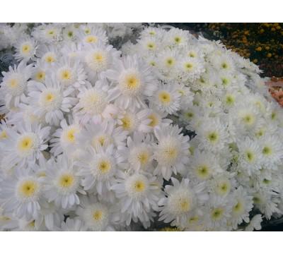 Хризантема Бакарди кустовая