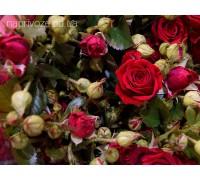 Роза Спрей красная Украина
