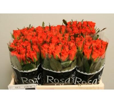 Роза оптом Голландия