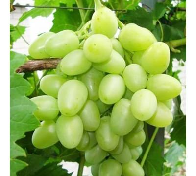 Аркадия виноград
